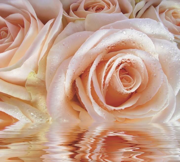 Фотообои «Нежная роза»