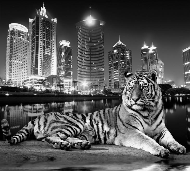 Фотообои «Тигр»
