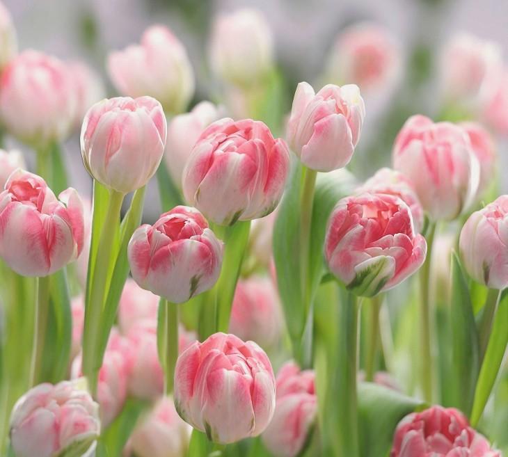 Фотообои «Тюльпаны»