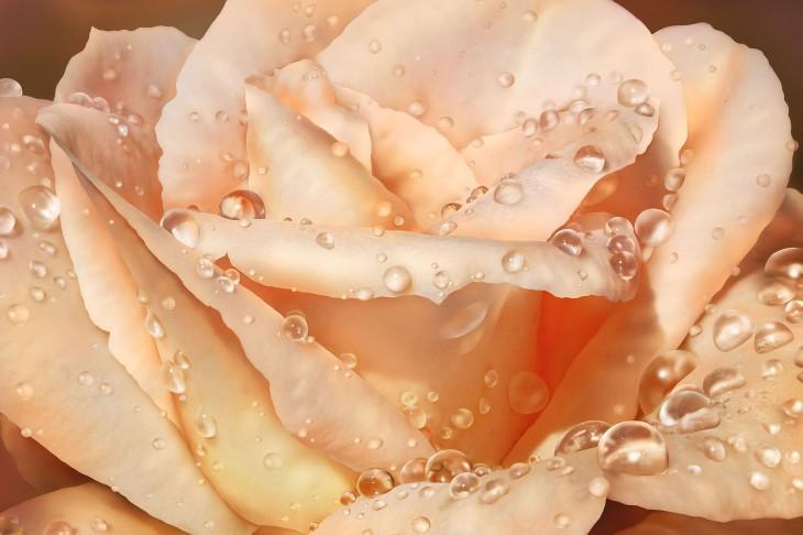 Фотообои «Чайная роза»