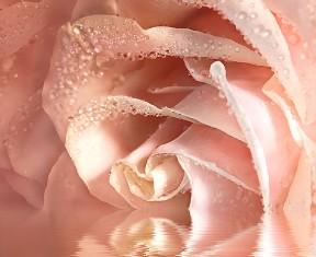 Фотообои «Кремовая роза»