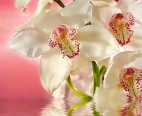Фотообои «Розовая орхидея»